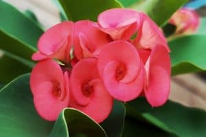 How To Grow Crown Of Thorns Plant Outdoors