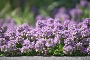 Is Creeping Thyme Edible Or Is It Only Grown For Beauty
