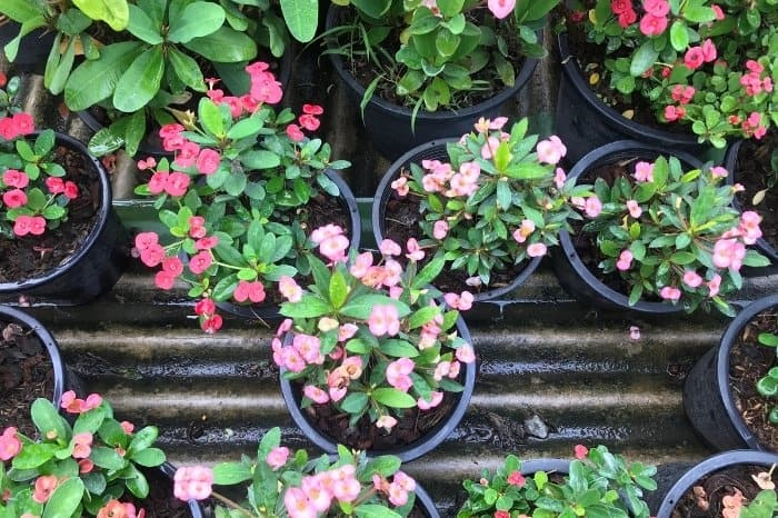 Repotting Crown Of Thorns