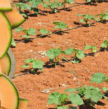 When To Plant Cantaloupes – The Perfect Time